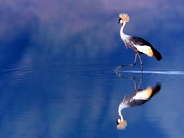 27 Cranes: Balearica regulorum wading
