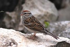 Chipping Sparrow (Spizella passerina) (J Centavo) Tags: sparrow chipping passerina spizella