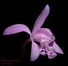 Pleione yunnanensis (Ramsis'07) Tags: orchid flower orchidaceae distillery pleione flowerscolors flowerwatcher pleioneyunnanensis