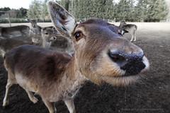 Deer (Ole Houen) Tags: canon eos funny deer 7d 10mm efs1022mmf3545usm yakkerdk