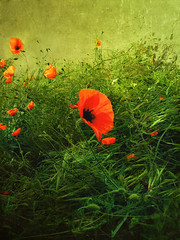 Tuscany (Visualtricks) Tags: red green field grass may textures tuscany poppy poppies magicunicornverybest selectbestexcellence magicunicornmasterpiece flypapertextures sbfmasterpiece