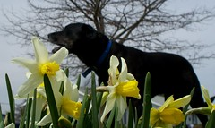 Narcissus and Tank (gairid1791) Tags: flowers pets dogs spring narcissus smilingsun