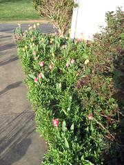 tulip planting