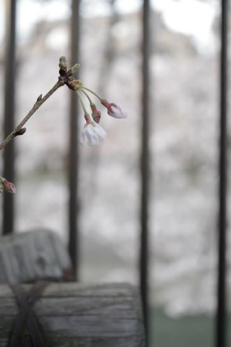 Sakura at Meguro river, Tokyo