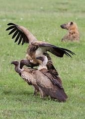 Vultures getting it on (shahpour) Tags: africa wild bird nature beautiful birds dof kenya bokeh wildlife feather safari mating vulture hyena masiamara