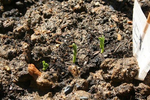 Peas, sprouting
