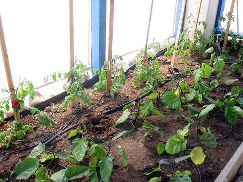 Eggplant in the foreground and tomatoes behind them
