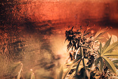 20110517-08_9 (tjm_tanya) Tags: green film photo weed jane michigan mary medical pot maybe marijuana journalism legal medicane