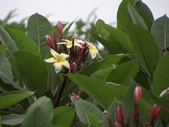 temple tree (ddsnet) Tags: plant flower sony cybershot     templetree plumeriaobtusa         hx100v