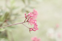 (Fatehah N) Tags: pink flowers canon 50mm petals soft