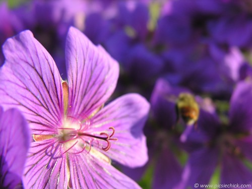 Macro photo of bee retreating from wild geranium. Feeling all but abandoned I reached out to my soul-sister, and I felt heard, drenched in Gratitude.