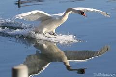 Cygne tuberculé - Cygnus olor (aiglonne) Tags: cygne tuberculé cygnus olor lac léman suisse grangettes wild birds oiseaux aves wildlive aquatique
