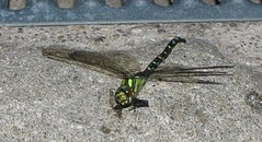 Dead dragonfly