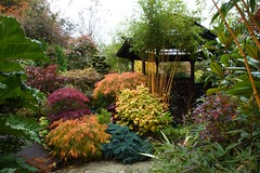 Autumn colour change gets underway in the middle garden (October 19) (Four Seasons Garden) Tags: blue autumn england west colour english fall beautiful marie gardens garden four pagoda october all colours seasons picture bamboo tony foliage fourseasons acer staffordshire rhubarb newton conifers tapestry perennial walsall midlands conifer gunnera chilean cloudtree ngs gunneramanicata herbaceous acers rhizomatous fourseasonsgarden