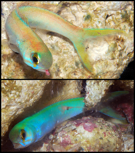 Flashing Tilefish