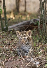 One of Olives cubs (Lyndon Firman) Tags: cute cub olive leopard bigcat bbc pantherapardus