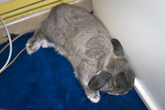 Andora getting some shut eye (jade_c) Tags: pet rabbit bunny animal mammal singapore sleep opal  hollandlop andora   lagomorph opalhollandlop