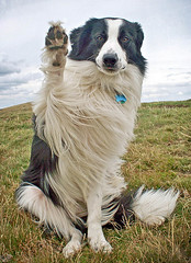 A Windswept Wave! (meg price) Tags: dog wave windy trick bordercollie barney magicunicornverybest magicunicornmasterpiece mybarneycalendersonitsway imactuallyquiteexcited hopeitcomesoutnicely