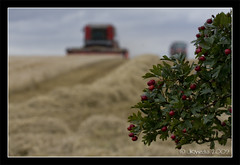 Berries at Harvest (JKmedia) Tags: red tractor green industry countryside berries dof farm wheat harvest machinery harvester agricultural combined oof carn shalow firlds canoneos40d jkmedia vosplusbellesphotos