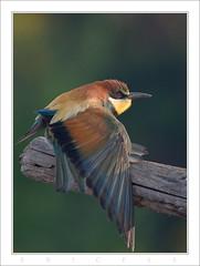 """guepier la colère (Eric Plé """"Photonum'Eric"""") Tags: nature canon eric allier 450 oiseau auvergne naturesfinest lpo guepier vosplusbellesphotos plé"""