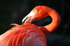 Beauty of the Flamingo (San Diego Shooter) Tags: wallpaper sandiego flamingo flamingos pinkflamingo sandiegozoo desktopwallpaper sandiegodesktopwallpaper