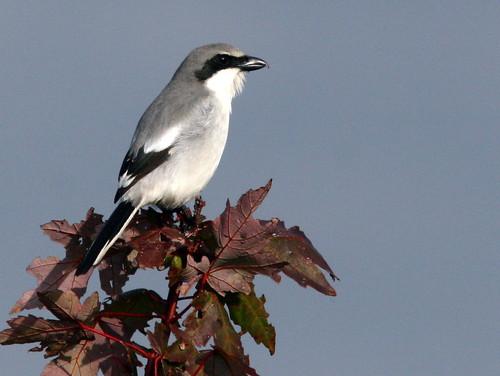 Loggerhead Shrike 20091228