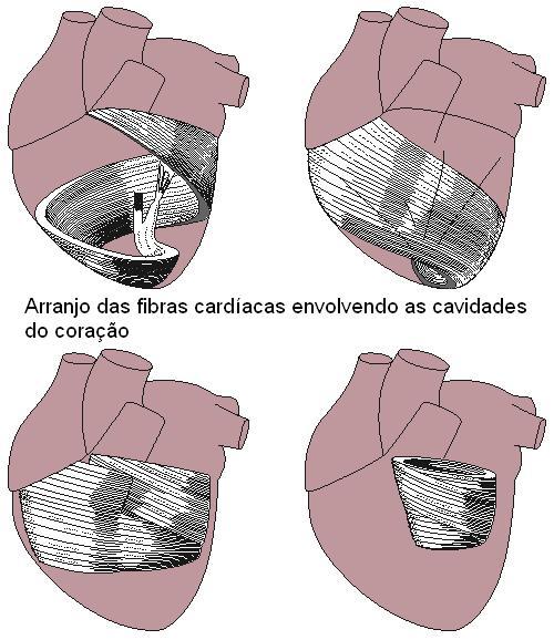 Orientação das fibras do músculo cardíaco