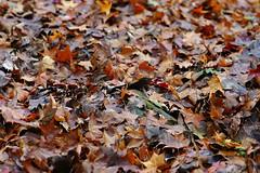 (ddsnet) Tags: autumn plant leaves sony taiwan autumnleaves   taoyuan autumnal 900      leaves reservoir autumn autumn reservoir leaves 900 shihmanreservoir shihman shihman