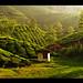 Tea estate in Munnar