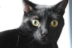 smirnoff (meejoebee) Tags: cats ontario canada cute cat feline homeless kitty kitties felines shelter spca adopt oakville animalshelter oakvillehumanesociety
