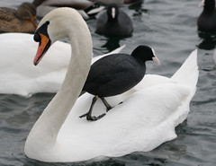swan island (nettisrb) Tags: two bird nature beautiful birds canon germany deutschland see tiere photo crazy swan wings funny schwimmen photos wildlife duo natur beak picture waterbird natura together photograph lustig lovely vgel schwan zwei cygne cisne vogel waterbirds 2010 wasservgel witzig komisch zwaan schwne cigno wasservogel naturesfinest zusammen blsshuhn beide svane abd flickrsbest kuu birdsbirds  anawesomeshot schwimmt 1000d  naturlife