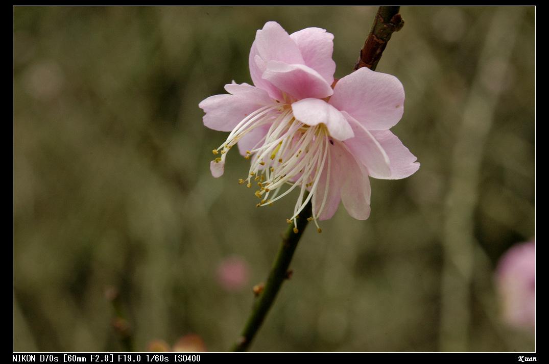 990127桃源仙谷-鬱金香花卉暨風景