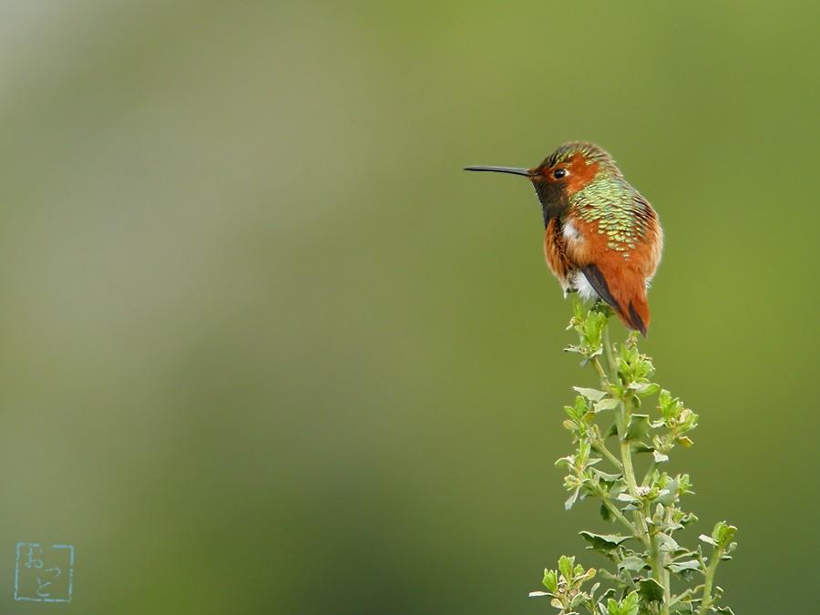 Allen's Hummingbird 02101-3