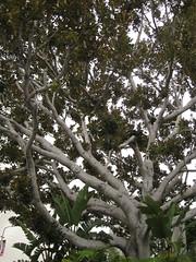 IMG_7439 (gfixler) Tags: tree fig ficus figtree chinesebanyan hugetree largetree curtainfig ficusmicrocarpa indianlaurel ficusnitida ficusmicrocarpanitida