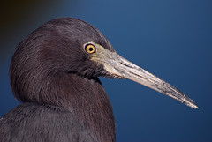 Little Blue Heron (Michael Skelton) Tags: portrait bird eye heron nature animal closeup outside outdoors colorful florida wildlife beak feathers avian plumage littleblueheron sarasotabay wadingbird boatramps sarsota kenthompsonpark thewonderfulworldofbirds michaelskelton michaeldskelton michaeldskeltonphotography
