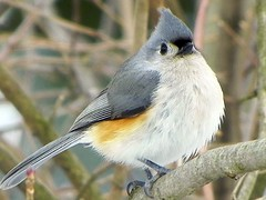 Tufted Titmouse-Baeolophus bicolor (srichards39) Tags: titmouse tufted