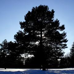 boneyard monday tree (dmixo6) Tags: winter canada nature weather spring melt muskoka thaw sapsucker bipolar dugg dmixo6