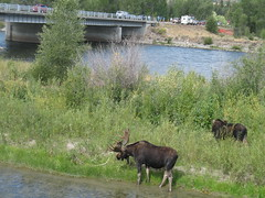A second moose! (chimpsonfilm) Tags: wyoming grandtetons tetons 2008
