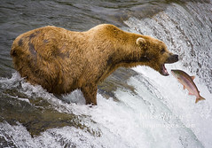 Grizzly Bear catching fish at Katmai National Park, Alaska (wileyimages.com) Tags: bear fish alaska waterfall wildlife salmon catching grizzly grizzlybear brooksfalls katmai katmainationalpark grizzlycatchingfish grizzlybearcatchingfish