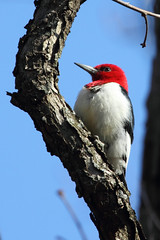 Red-Headed Woodpecker (TheNatureDude) Tags: redheadedwoodpecker palosforestpreserve illinoiswildlife