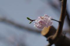 横浜開花:ごく私的基準木も
