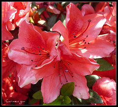 Que tu semana est llena de color y energa! (Carmen GM -) Tags: flowers flores flower color energy flor azalea energa