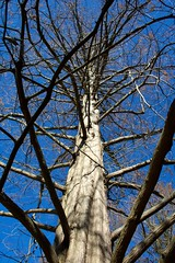 IMG_5883 (alliewilkinson) Tags: park usa newyork tree longisland nassaucounty dawnredwood lattingtown baileyarboretum viaaperture