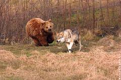 ...er will doch nur spielen (R.Knoblochphotographie) Tags: wolf jagd bär braunbär wölfe photographyrocks flickraward goldwildlife goldstaraward goldstarawardgoldmedalwinner