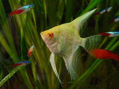 Albino Angelfish (#RawNigga Indahouse) Tags: pet hobby pterophyllum albino tier scalare cichlidae fische tiere fisch sswasser zierfische tropicalfish nature natur aquarien fishtank cichlid home fish aquarium animal freshwater angel angelfish albinocichlid albinocichlids redeye redeyed tropicalfreshwater tropical cichlidfish aquariumcichlid cichlids