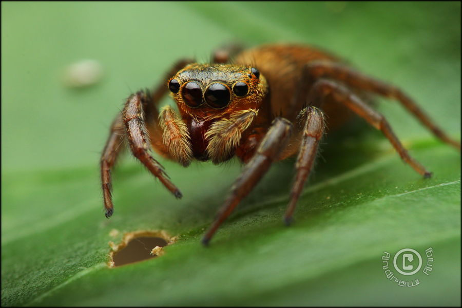 Salticidae  sp