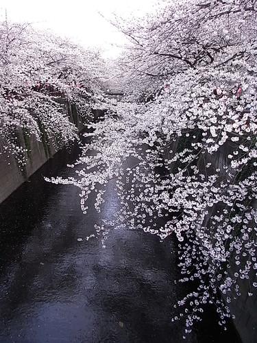 RIMG1556 目黒川 桜2 Meguro-Ku Tokyo Japan