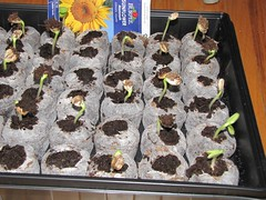 Baby Sunflowers