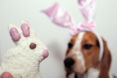 300/365 Happy Easter everyone (Paguma / Darren) Tags: dog bunny easter cookie hound ears treat floyd tamronspaf1750mmf28xrdiiildasphericalif