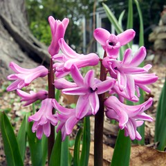 Hyacinthus orientalis (Natural form) (beautifulcataya) Tags: madison hyacinth hyacinthus naturalform hyacinthaceae orientalis